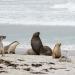 Les otaries de Kangourou Island