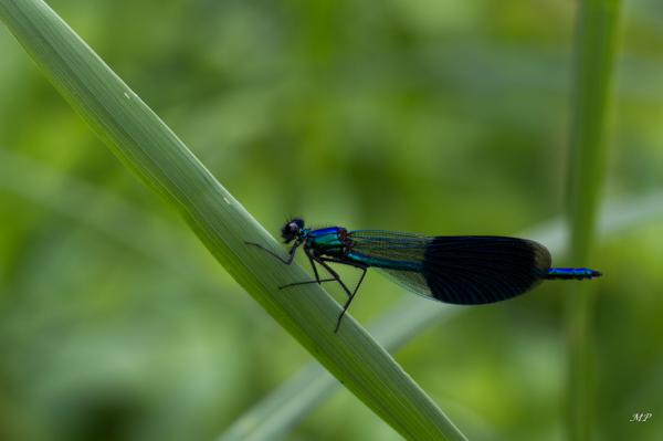 Sortie nature: Calopteryx