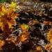 Quelques feuilles de chêne