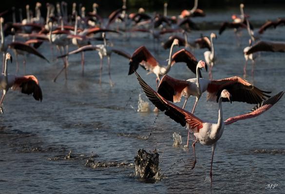 Danse des flamants roses en Camargue