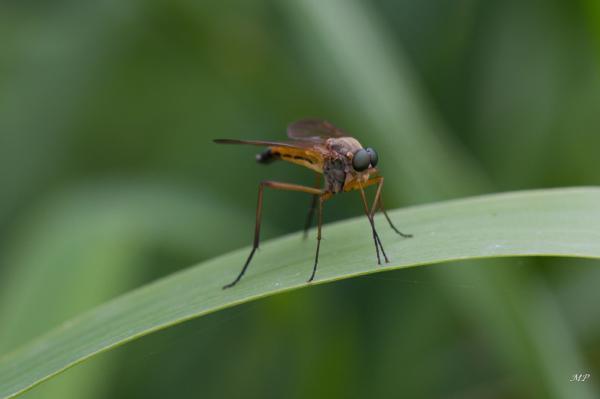 Je ne connais pas le nom de cette mouche