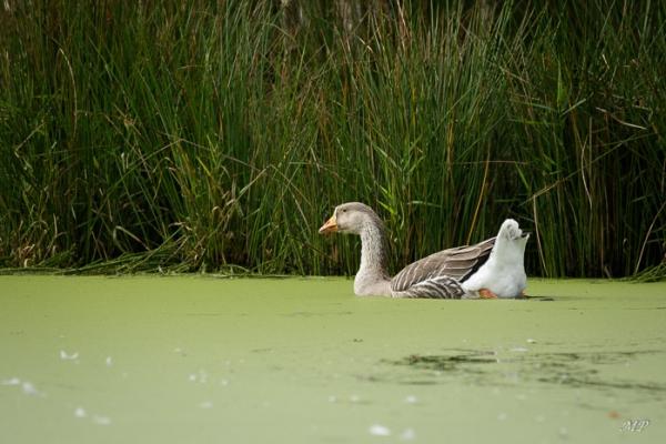 L'oie glisse sur l'eau vaseuse de l'étang solognot