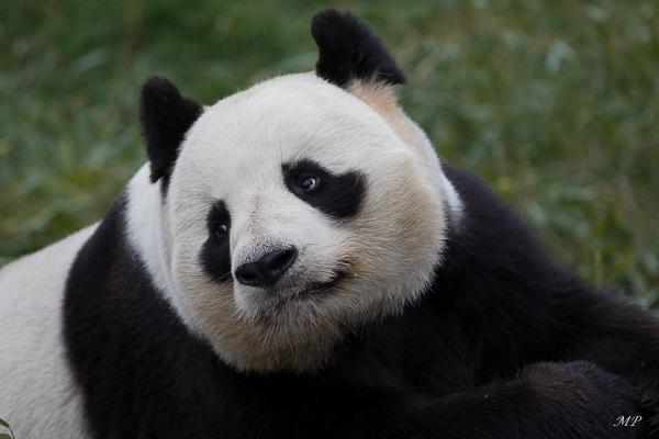 Le Panda mâle du Zoo de Beauval