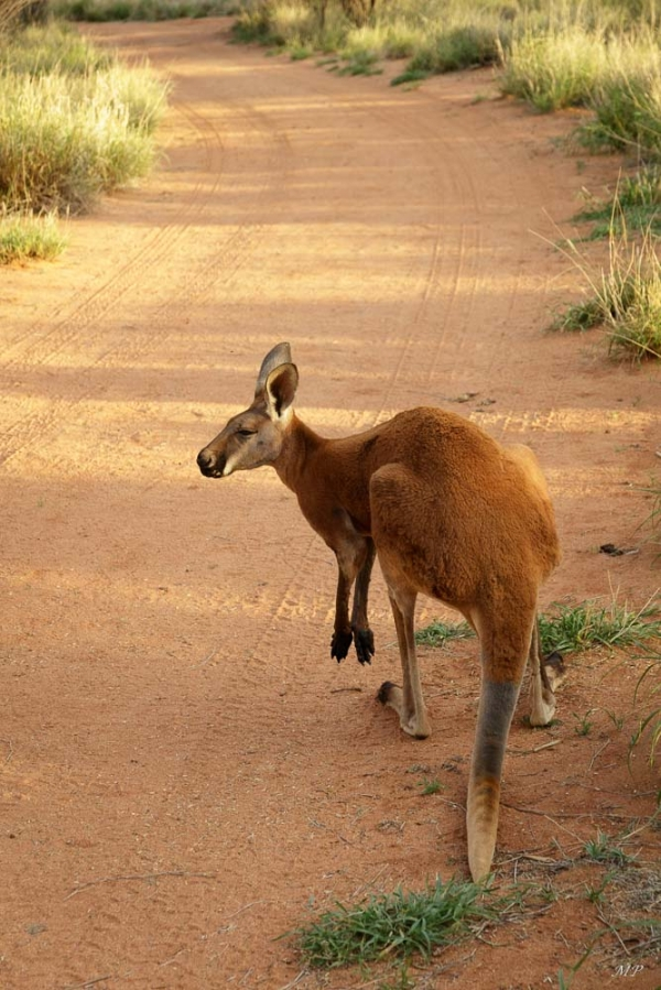 Le pays des Kangourous
