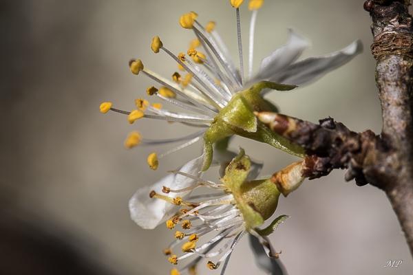 Arbre fruitier déjà en fleurs
