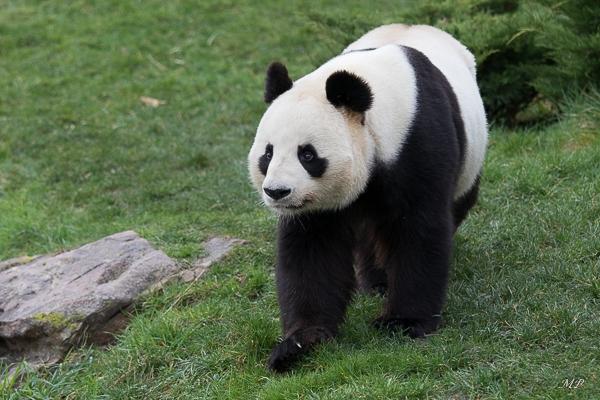 La  femelle Panda du Zoo de Beauval