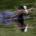 Le foulque bâtit son nid