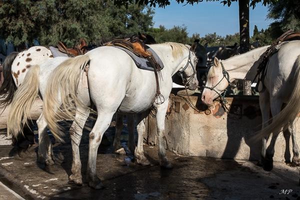 Les chevaux camarguais