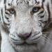 Tigre blanc du zoo de Beauval