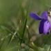 Les premières violettes de l'année
