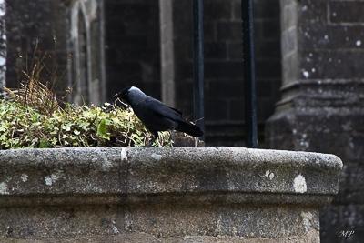 Un choucas des tours à Locronan