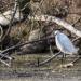 Vie au bord du Loiret - L'aigrette